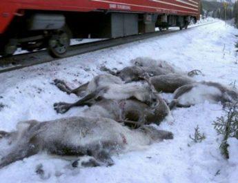 Imagini sfâşietoare: Peste o sută de reni au fost ucişi de trenuri