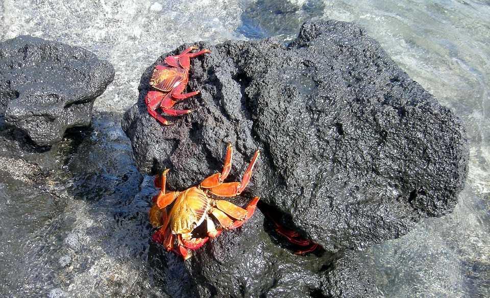 Crabii cu miscări de dans mai rapide sunt preferati de partenerele lor