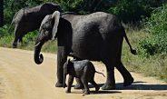 Elefanţi de Sumatra
