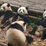 Urşi panda gemeni cu cea mai mare greutate din lume la naștere