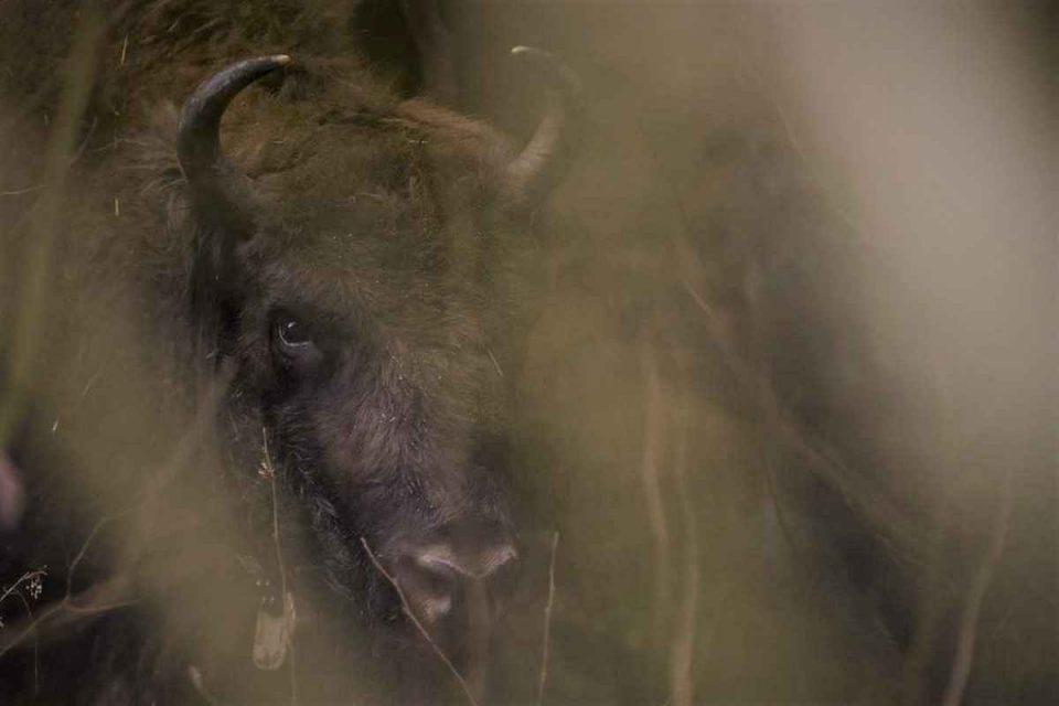 Zimbri în Făgăraș - foto 1: Daniel Mîrlea, Fundația Conservation Carpathia, 2020