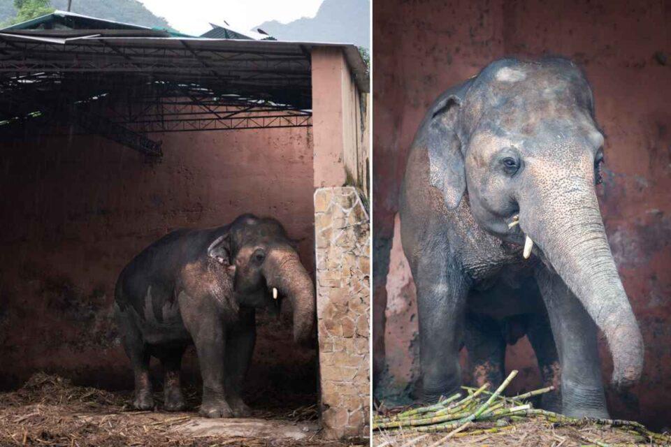 Elefant salvat după zeci de ani: Cel mai singuratic elefant din lume va avea un trai nou. foto: Four Paws International