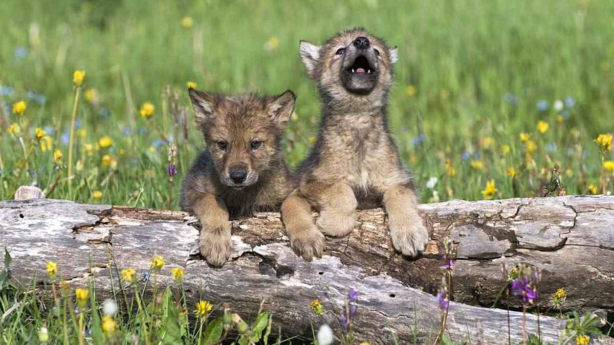 VIDEO - Haită de lupi în libertate, în pădurile Neamțului