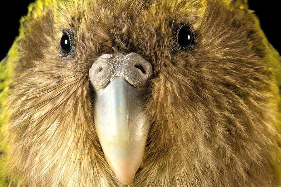 Kakapo, cea mai grasă specie de papagal din lume, desemnată pasărea anului 2020 în Noua Zeelandă