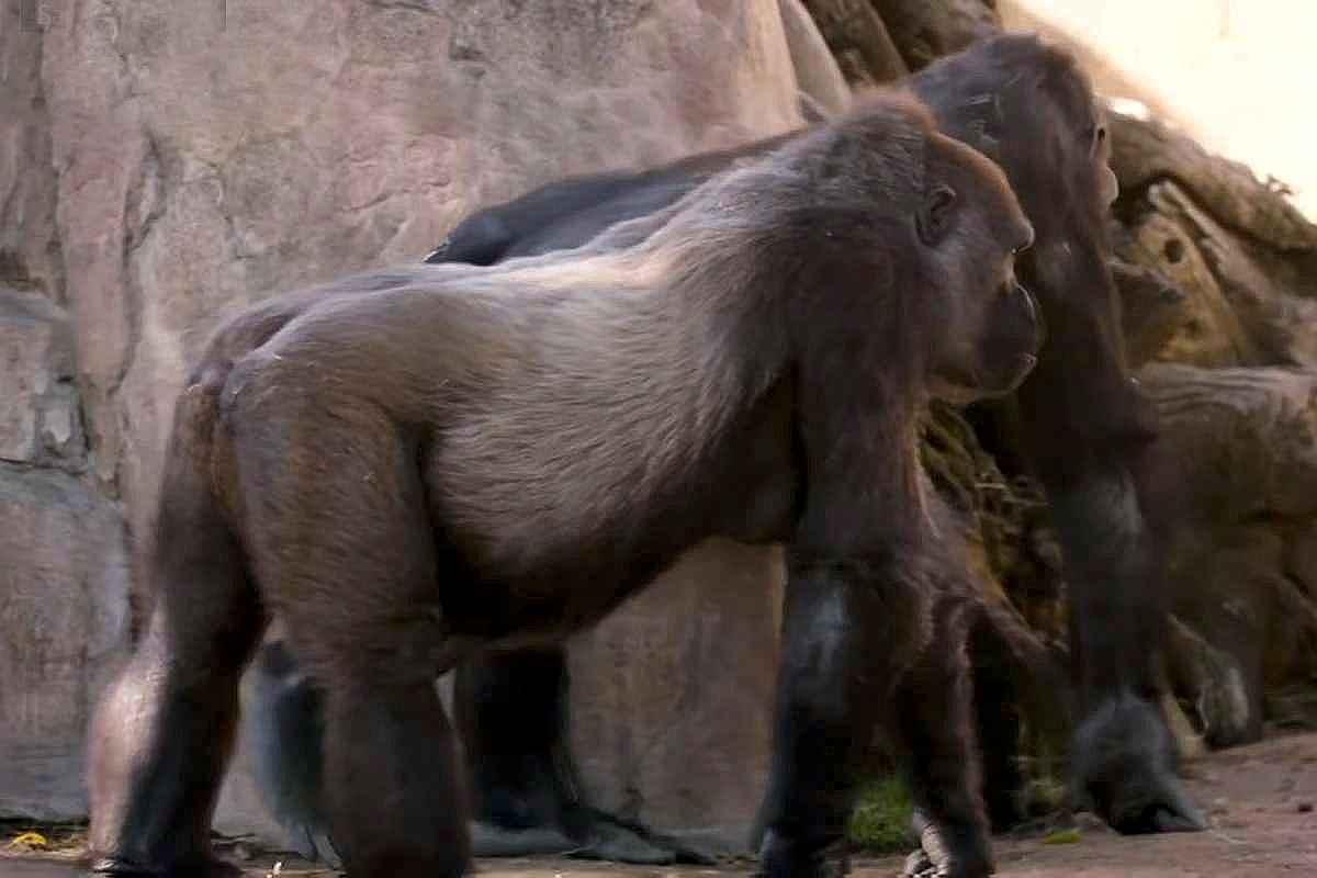 Opt gorile de la Zoo San Diego, California, depistate cu Covid-19