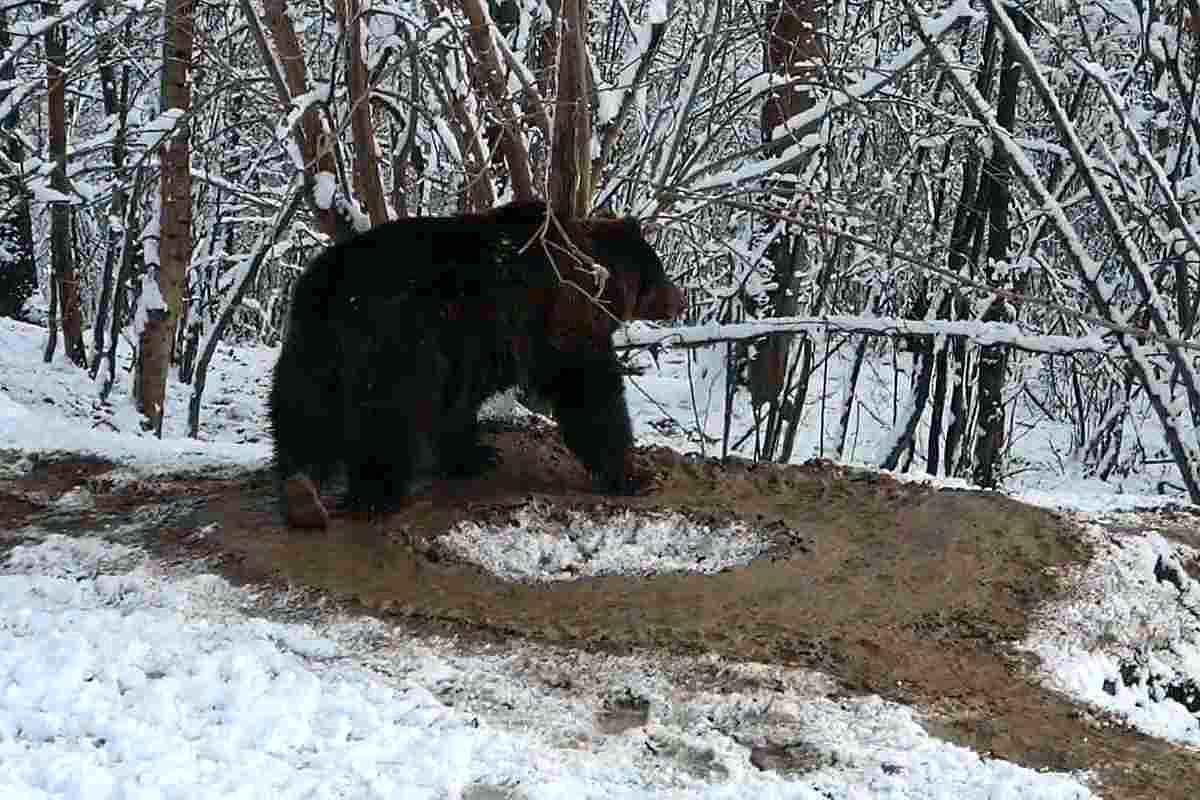 """Traumele CAPTIVITĂȚII: După 20 de ani la zoo Piatra Neamț, ursoaica Ina """"trăieşte"""" încă într-o cuşcă imaginară, deși e în sanctuarul Libearty - VIDEO"""