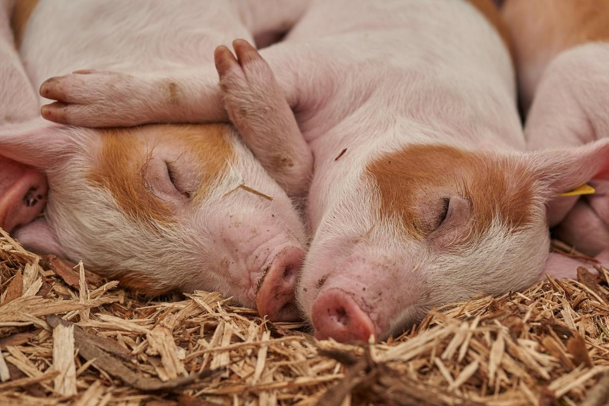 ANSVSA dă o veste alarmantă: Avem 443 de focare de pestă porcină