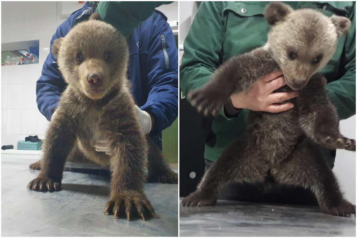 Garda de Mediu, a prins infractorii! Amendă ULUITOARE: 10.000 de lei pentru o asociație non-profit care A SALVAT de la moarte doi pui de urs!