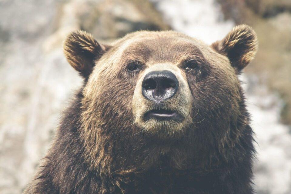 Şeful Gărzii de Mediu a deschis anchetă, după reclamația că un prinţ din Austria a ucis ilegal cel mai mare urs brun din România. Se poate ajunge la dosar penal