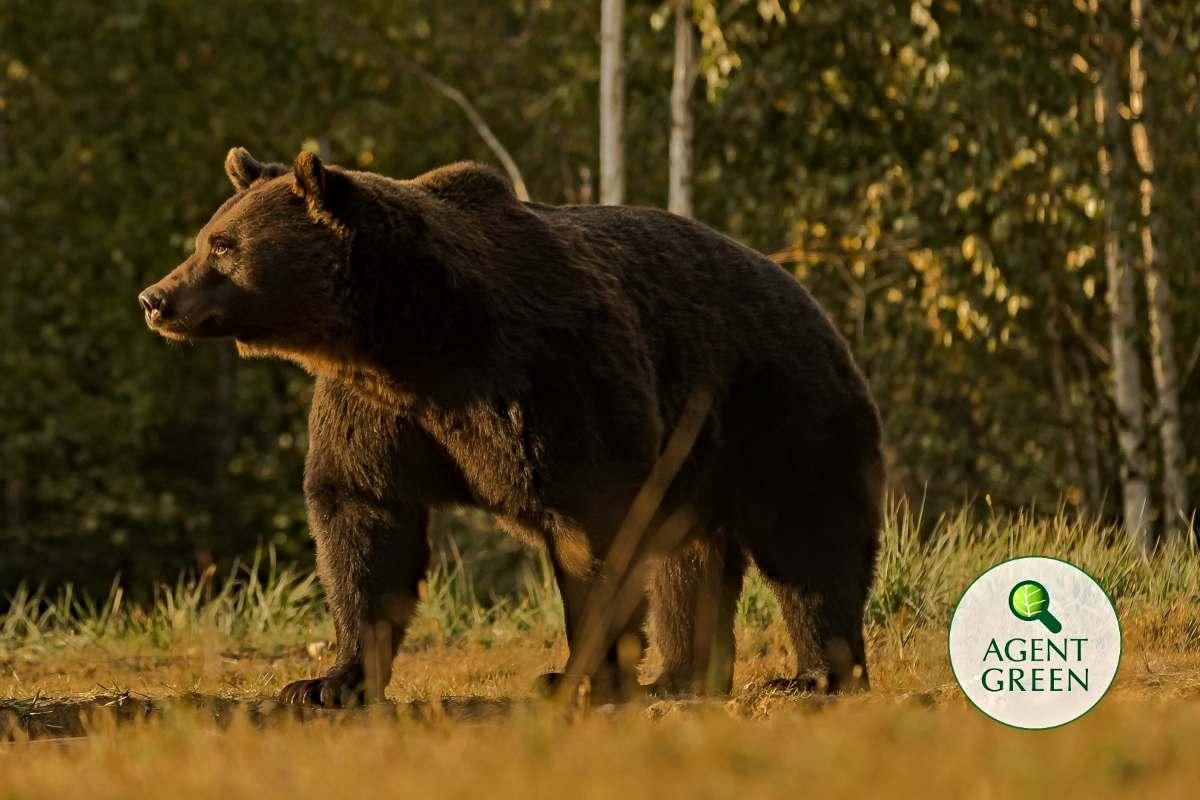 Ursul Arthur. arhiva Agent Green