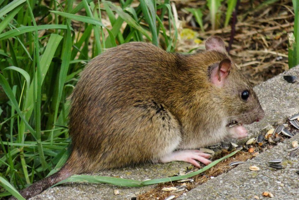 Bucureștean mușcat de șobolan, pe o stradă din centrul orașului