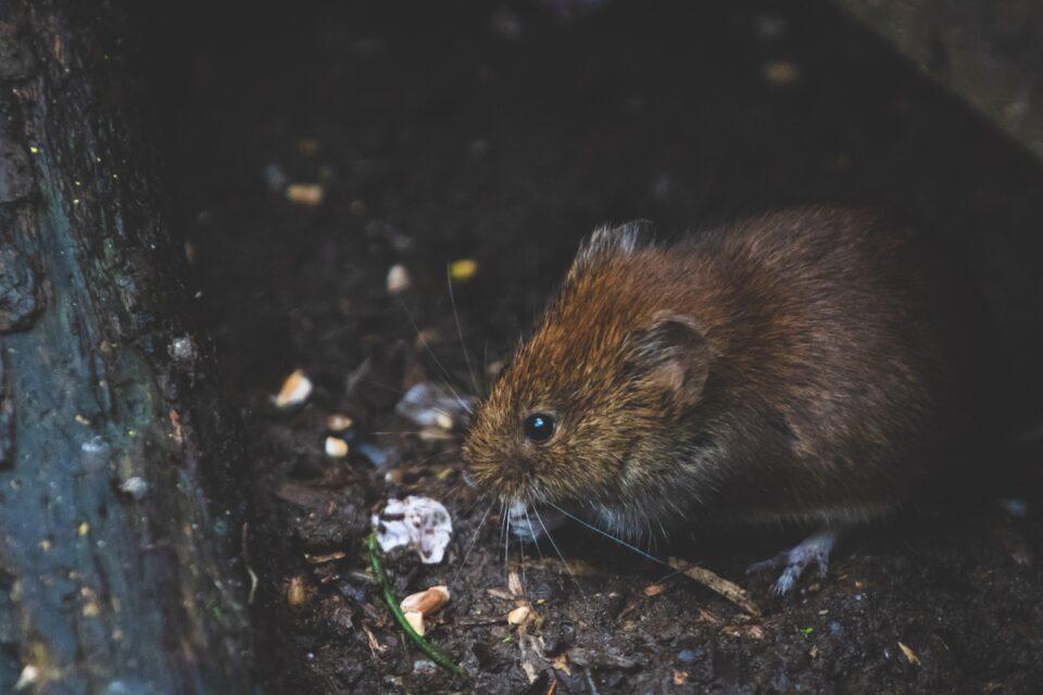 Nicușor Dan susține că nu s-au înmulțit șobolanii, în București, față de anii trecuți